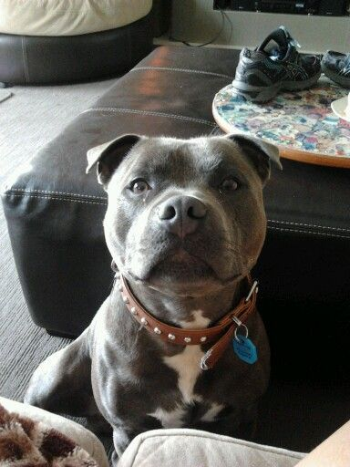 Things All Things All Staffordshire Bull Terrier Owners Must Never Forget   Top Dogumentary Owne ...