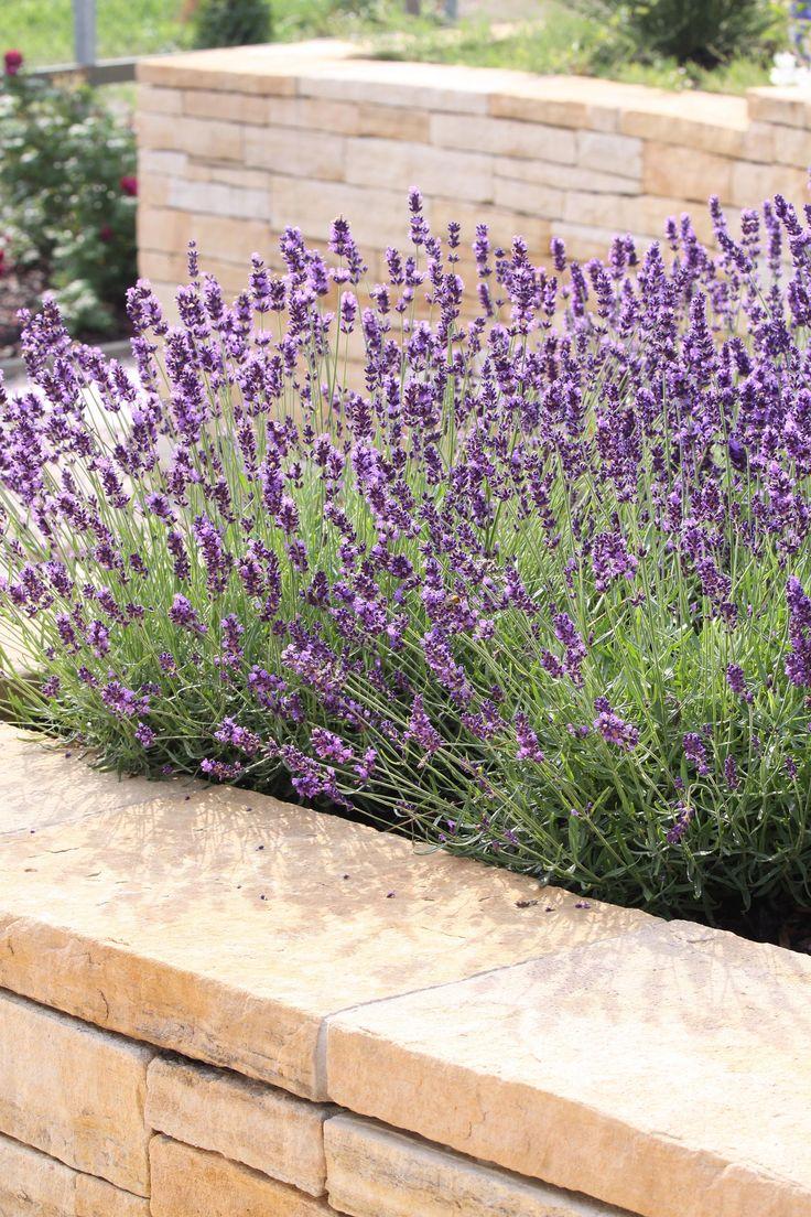 pískovcové opěrné zídky s levandulí / sandstone retaining wall with lavender
