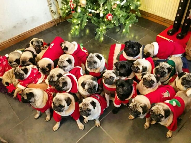 I didn't know SANTA was giving pugs for christmas.