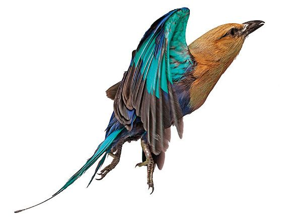 Andrew Zukerman - Lilac breasted roller