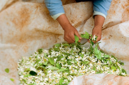 Neroli flowers being picked and selected, only six kilos of petals are picked per day. #yvesrocherusa #fragrance
