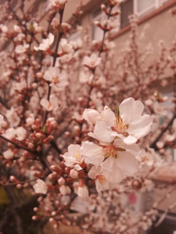 벚꽃, Cherry blossoms.