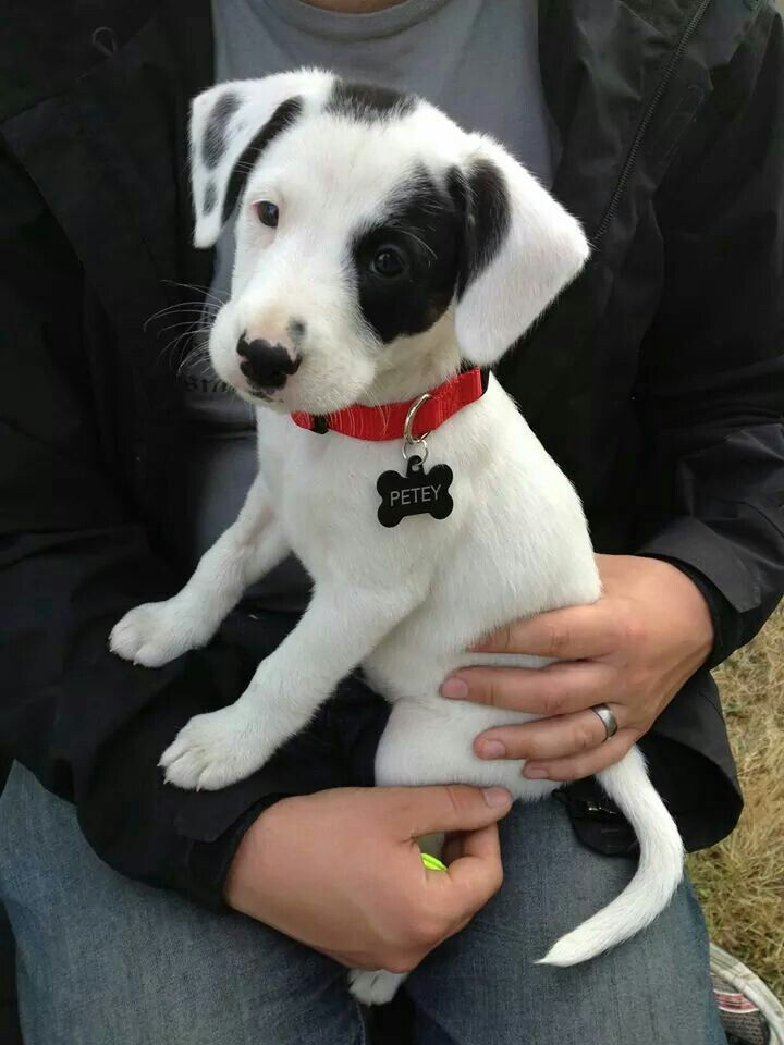 Beautiful Beagle Dachshund mix!   i bet max looked similar tomthis when he was a pup