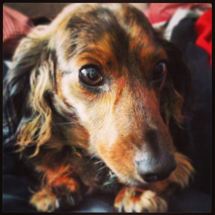 1000+ images about dackel on Pinterest | Weenie dogs ...