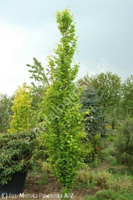 buk pospolity 'Dawyck Gold' - Fagus sylvatica 'Dawyck Gold' | Katalog roślin - e-katalog roślin