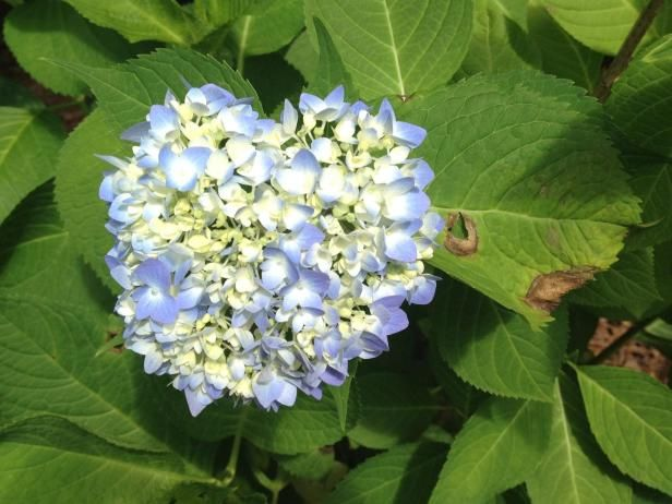 Learn how to identify and treat common hydrangea diseases and pest problems with this helpful guide from HGTV Gardens.