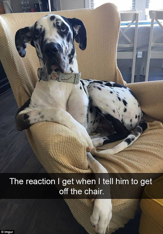 There is no question about who this Great Dane thinks the chair belongs to ...
