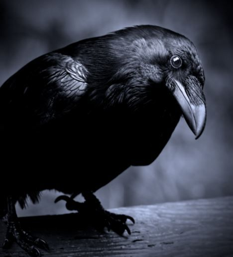 Ravens soar like Hawks and Eagles. They represent intelligence and are humorous tricksters reminding us not to take ourselves too seriously all of the time. They have excellent memories, like crows.