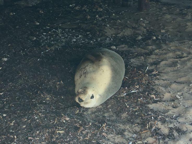 Sea Lion at Streaky Bay, SA
