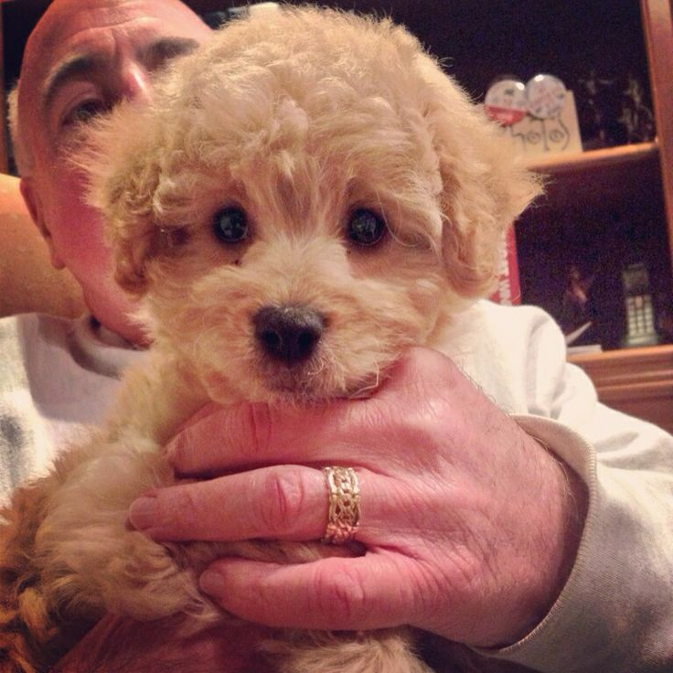 Baby mini goldendoodle   Riley   Pinterest