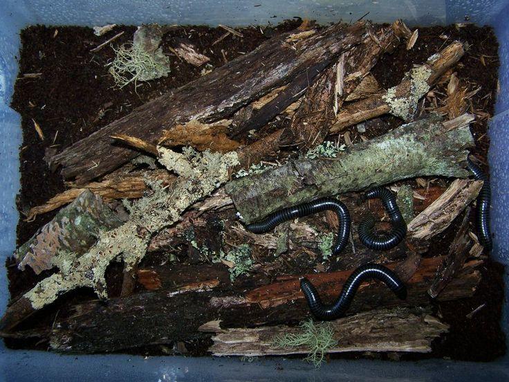 Giant Millipedes