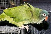 Birdmart.Com - PARROT CARE: GROOMING YOUR PARROT - WINGS. Clipping your parrot's wings is vital to your bird's safety. Learn why it is important and how to do it right.