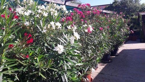 Vásároljon mediterrán növényeket 15% kedvezménnyel.  http://www.budaorsikerteszet.hu/index.php?mod=hirek&id=140&ngid=2