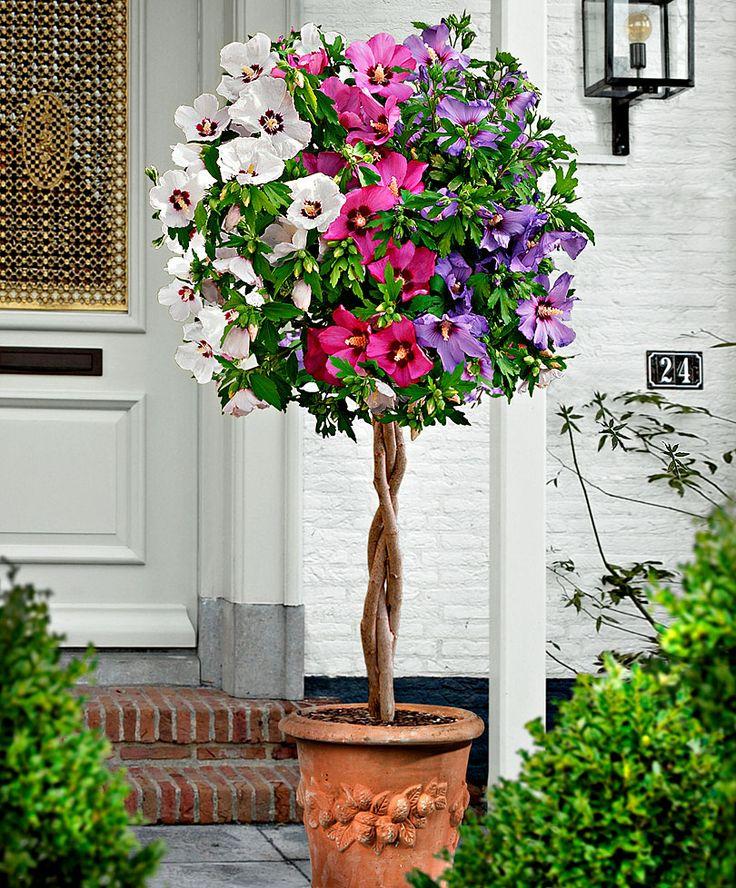 Hibiscus tricolore | Arbres & arbustes | Bakker France