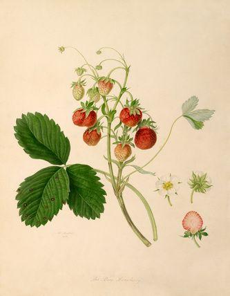 The Pine Strawberry