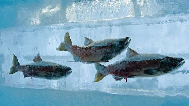 Qué pasa si metes un pez vivo en nitrógeno líquido?