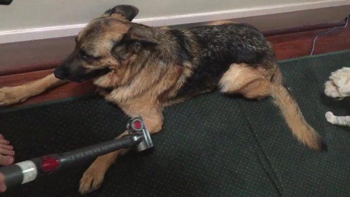 A este perro le gusta que lo aspiren 😂😂 @ https://imgur.com/gallery/zhxkxlg
