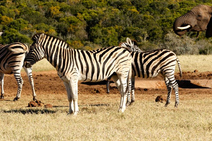 Yes it is BIG - Zebra Yes it is BIG - Zebra is a southern subspecies of the plains zebra. It is named after the British explorer and naturalist William John Burchell.