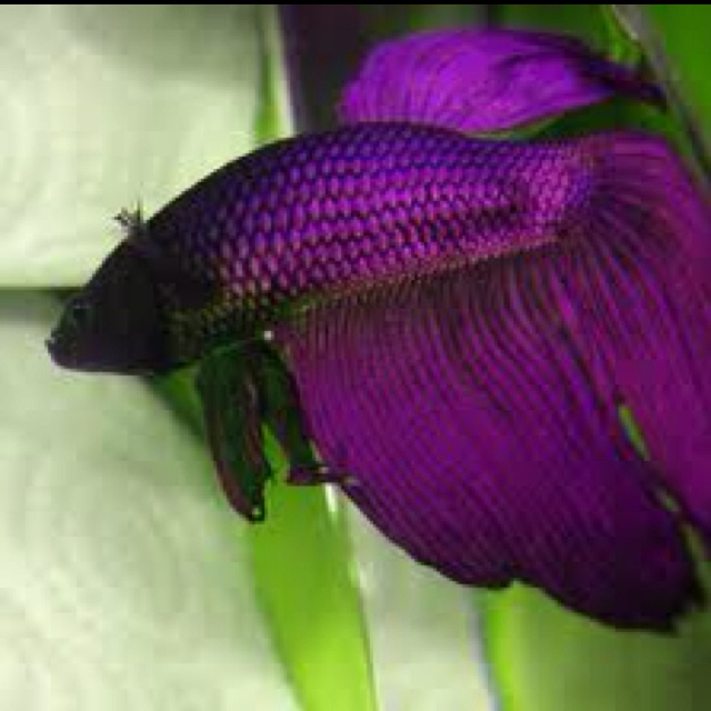 Havent seen a purple Betta before, but if I ever got one, I would ...