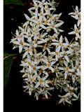 Cornus amomum (Silky dogwood) | NPIN