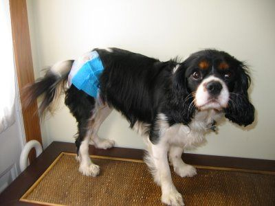 Dog Diapers, Cheap Homemade Dog Diapers That Stay On