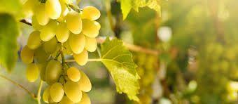 Grapes from De Doorns