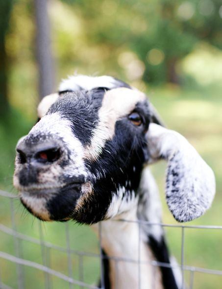 "This looks like ""Gracie"", a favorite goat I used to have."
