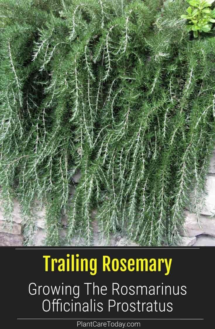 Trailing Rosemary Care Growing The Rosmarinus Officinalis Prostratus In 2020 Perennial Herbs Rosemary Plant Growing Rosemary