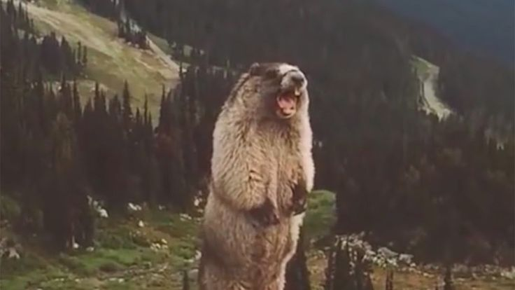 The screaming marmot