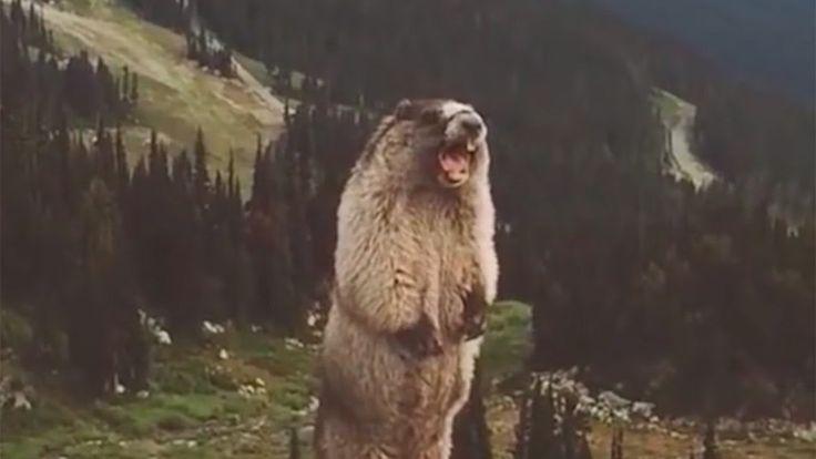 The screaming marmot