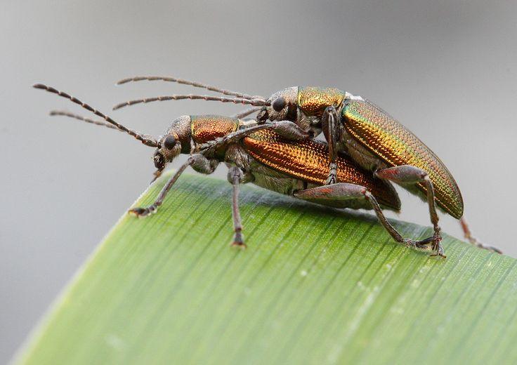 Leaf Beetles mating | Flickr - Photo Sharing!