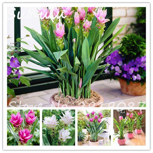 10Seeds/bag Thailand Curcuma Seeds Also Called Siam Tulip Seeds Rare Flower Beautiful Seeds Member Of The Zingeraceae