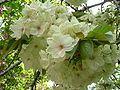 Prunus serrulata - Wikipedia, the free encyclopedia
