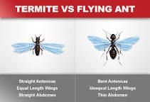 https://www.orkin.com/termites/flying-ants-vs-termites/ - differences