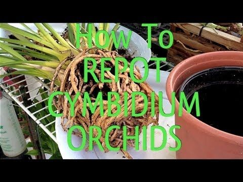 How To Repot a Root Bound Cymbidium Orchid In Under 10 Minutes - Orchid Plant Guide