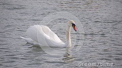 A male mute swan in water.