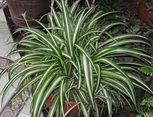 Chlorophytum comosum - Spider Plant - make good quick spreading groundcovers or borders in partial shade, especially under trees. Requires regular application of liquid fertiliser. Keep moist at all times.