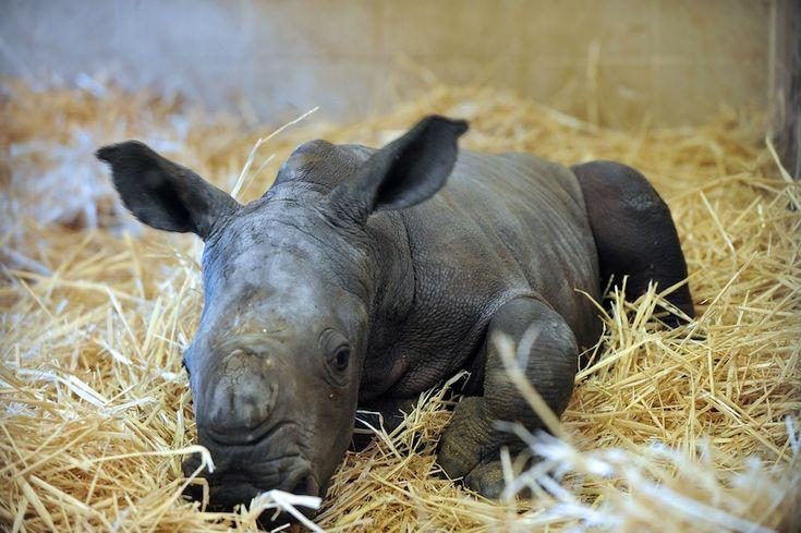 Un cucciolo di rinoceronte nato il 15 ottobre nello zoo di Beauval a Saint-Aignan, nella Francia centrale.