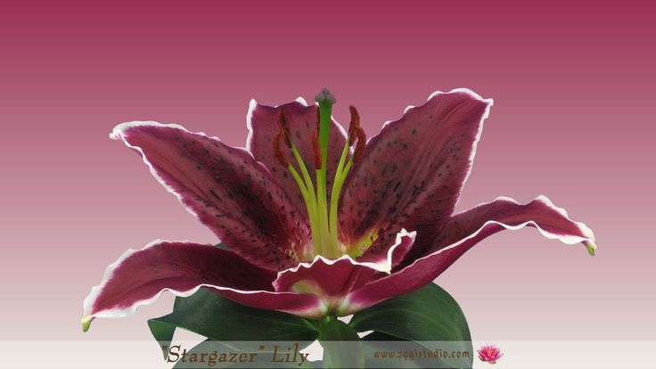 Growing, Opening and Rotating Red Stargazer lily.