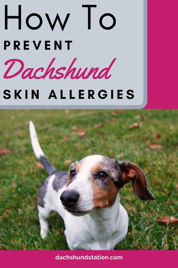 7 Simple Tricks To Prevent And Treat Dachshund Skin Issues