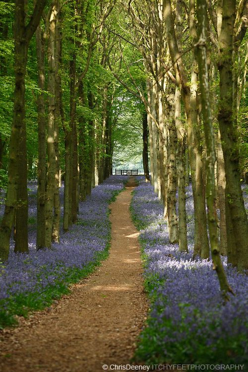 Woodland path in bluebell wood, England, UK  #RePin by AT Social Media Marketing - Pinterest Marketing Specialists ATSocialMedia.co.uk