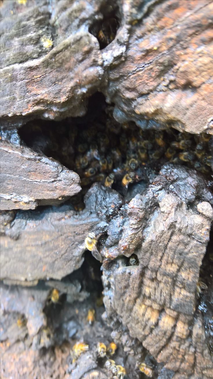 Bee removal in Johannesburg bees in a tree trunk