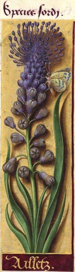 Ailletz - Species sordi (Muscari comosum Mill. = ail à toupet -- Cette espèce porte encore aujourd'hui le nom d'aillot en Normandie) -- Grandes Heures d'Anne de Bretagne, BNF, Ms Latin 9474, 1503-1508, f°114r