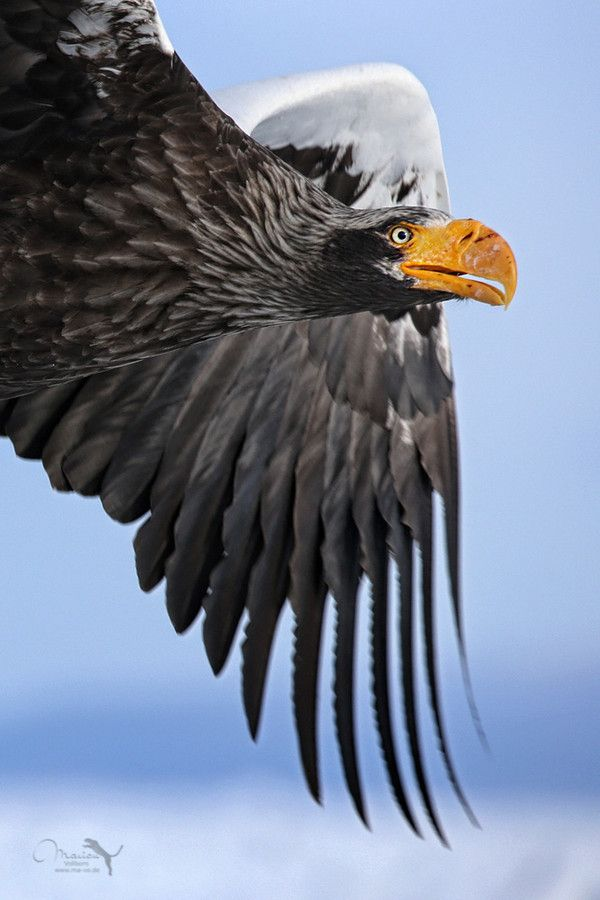 The massive Steller's sea eagle is the heaviest eagle species on average, at around 7 kg, and typically has a wingspan of around 7 feet.