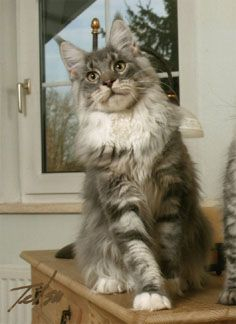 #MaineCoon #Blue #Silver #Blotched #Classic #Tabby #Cats