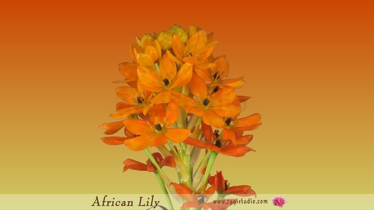 Growing, Opening and Rotating Orange African Lily