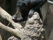 Bonobo: Famous Animal, Chimpanzee 3, Express Bonobo, Free Encyclopedia, San Diego Zoos, Common Chimpanze, Zoos Fish, Cours, Helpful Shape
