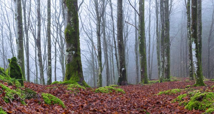 Beech Forest Fog - Fog in the beech forest, still no leaves on the trees, but i guess that soon will change, as the spring is upon us.