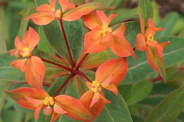 Euphorbia griffithii 'Fern Cottage'
