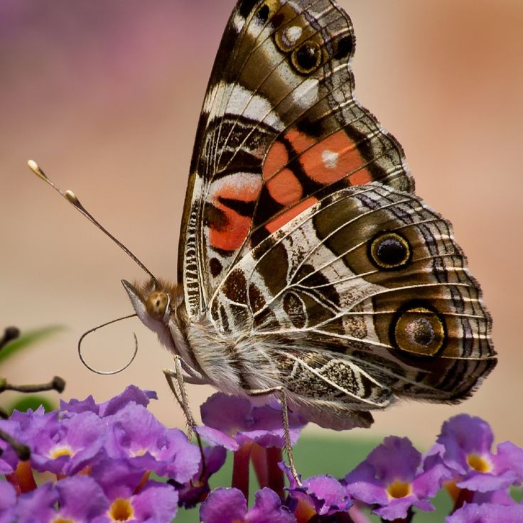 #butterflies #butterfly #nature #beautiful #amazing #bellissime #farfalla #farfalle #flowers #flower #fiori #natura #fiore #incanto #meravigliedellanatura #meraviglie #light #luce #blue #blu #black #nero  #white #bianco #eyes #occhi #brown #marrone #arancio #orange #pink #fucsia #rosa